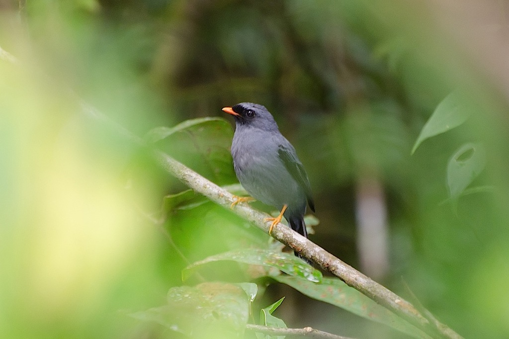 Black-faced Solitaire 1