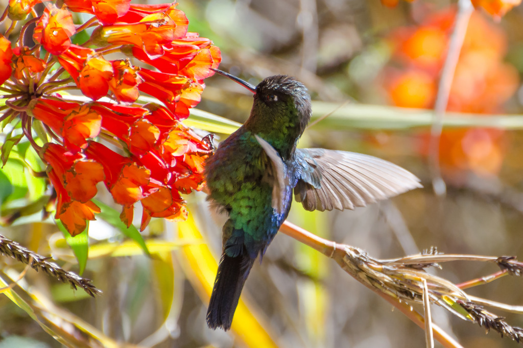 Fiery-throated Hummingbird 1