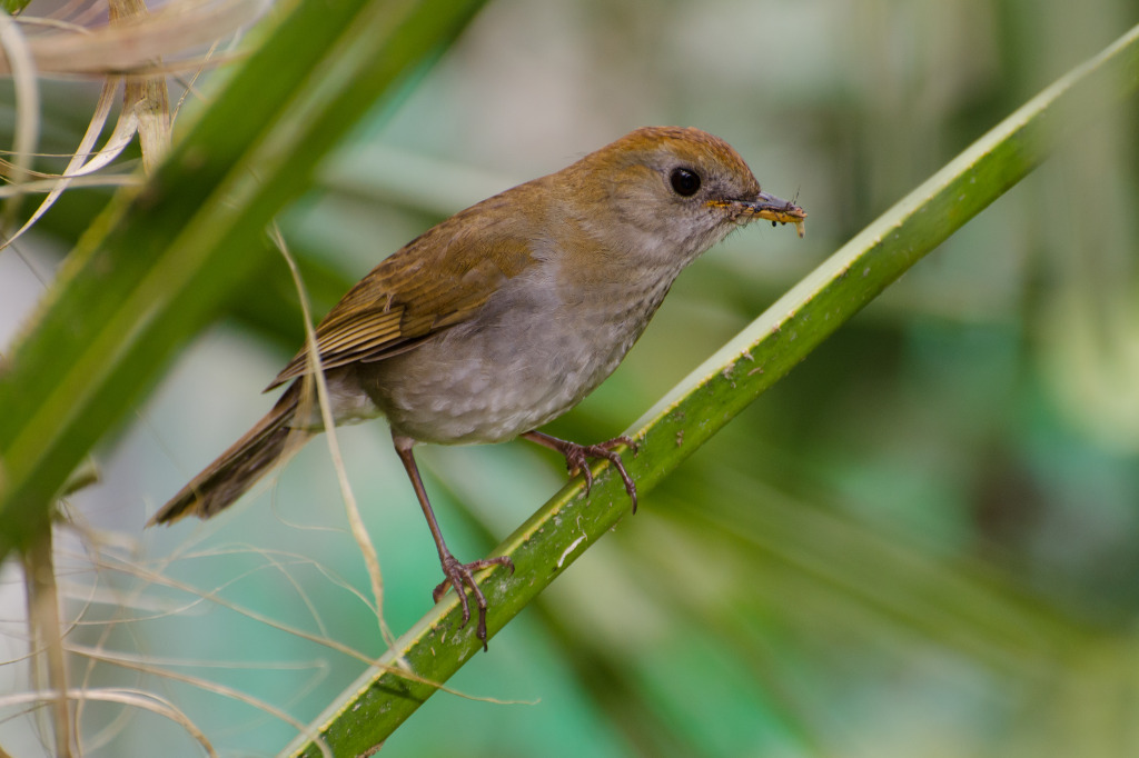 Ruddy-capped Nightingale-thrush 1