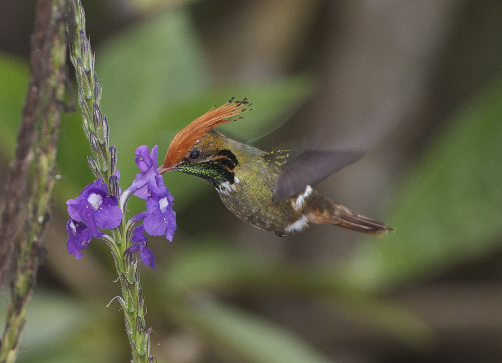 Rufous-crested Coquette 3