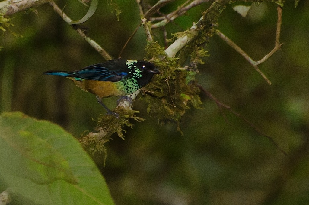 Spangle-cheeked Tanager 1