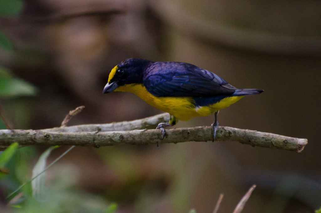 Thick-billed Euphonia 1
