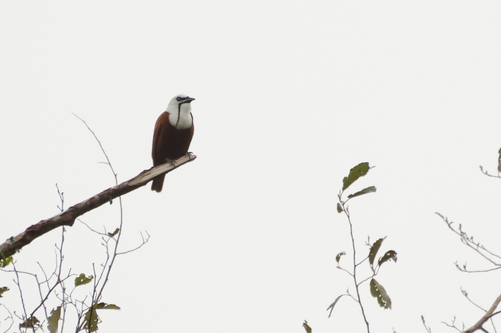 Three-wattled Bellbird 2