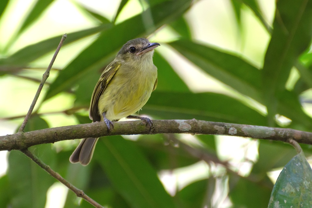 Yellow-olive Flycatcher 1