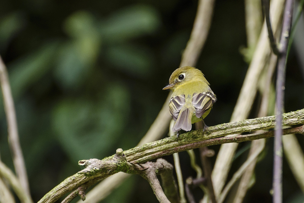 Yellowish Flycatcher 2